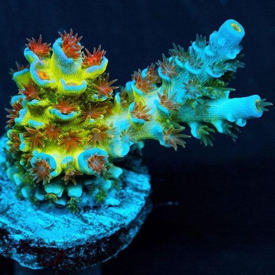 51 Best Acropora Corals Images On Pinterest