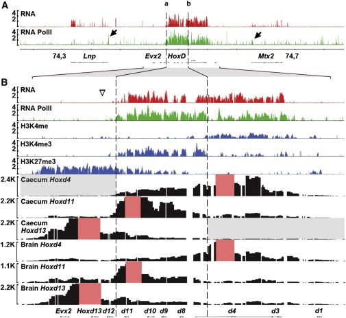 Hox genes are required for the development of the intestinal cecum, a major organ of plant-eating species. Researchers at the Ecole Polytech...