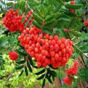 Друиды - Гороскоп. фото дерево рябина 2