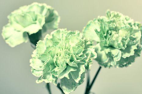 Pastel green carnations