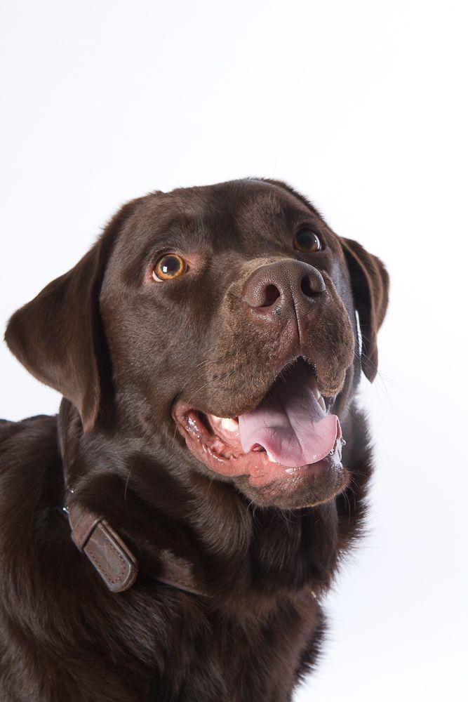 Edward the Chocolate Labrador