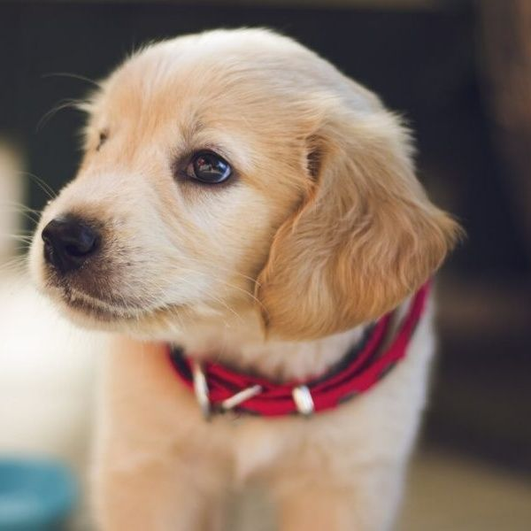 California Bans Puppy Mills Sales At Pet Stores Training Your Dog Puppy Pictures Dogs