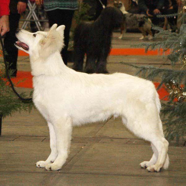 berger blanc suisse dog photo | berger blanc suisse,info-elevage,berger blanc