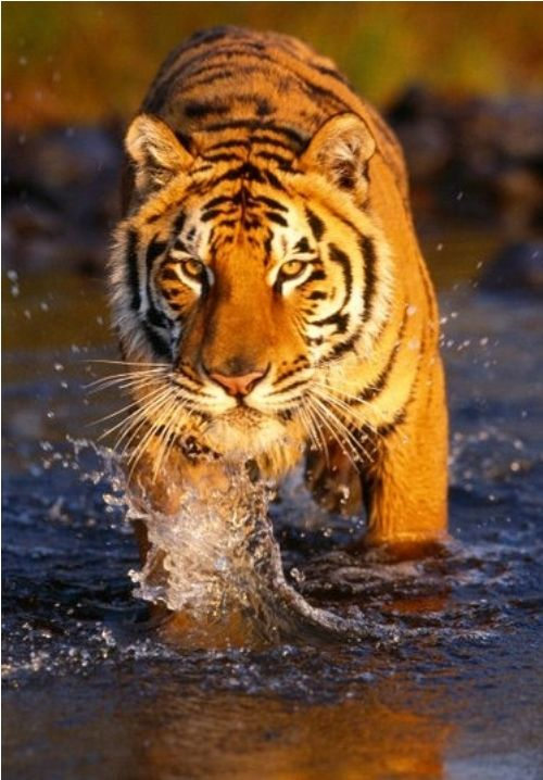 """A Tiger: """"Loving The Water."""""""