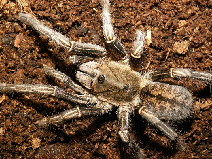Thai Zebra Bird Eating Tarantula Pet Tarantulas Pet