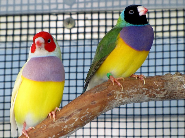Lady Gouldian Pet Birds Finches Bird Beautiful Birds