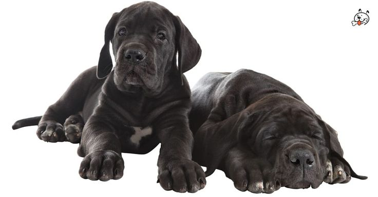 Did you know theese details about our  #Great_Dane puppies? Click the Link or the image now and learn everything about them ;) http://puppies4all.com/great-dane-puppies-for-sale/ #dog #doglover #puppy #p4a#puppies #dogs #adorable #lovely #funny #loyal #breeds;