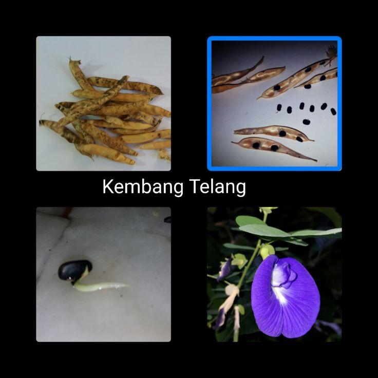Kembang Telang (Indonesian)