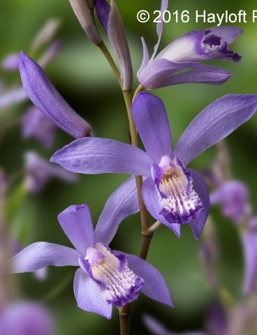 101 best Bletilla striata images on Pinterest | Beautiful flowers ...