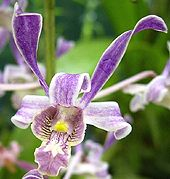 It is very similar to the species Dendrobium stratiotes, except it is different in the color and the callus structure in the lip. Description from tropicalexotica.com. I searched for this on bing.com/images