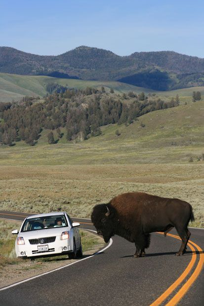 "Making it clear who has right of way. ""Bison in Yellowstone National Park by Victoria Davies"""
