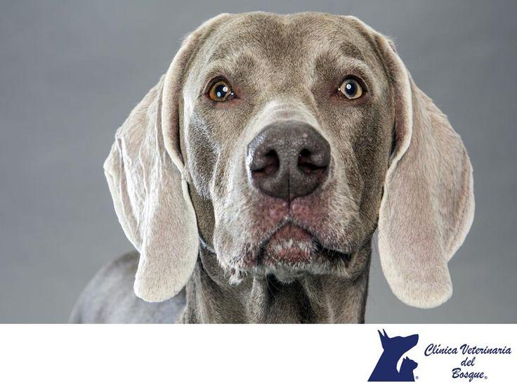 LA MEJOR CLÍNICA VETERINARIA DE MÉXICO. El Braco de Weimar o Weimaraner, es una raza de perro de muestra fuerte y esbelto. Este es un perro cazador originario de la región de Weimar en Alemania, al principio, se criaba exclusivamente para las necesidades de caza de los guardabosques y cazadores. Después se fueron cruzando con otras razas. En Clínica Veterinaria del Bosque, te recomendamos conocer las diversas razas de perros para adoptar la mejor para ti y tu familia. #veterinariadelbosque