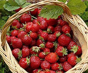 Récolter et cueillir les fruits au verger et au jardin fruitier - Fraise, au dernier moment