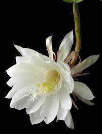 EPIPHYLLUM OXYPETALUM - Night Blooming Cactus