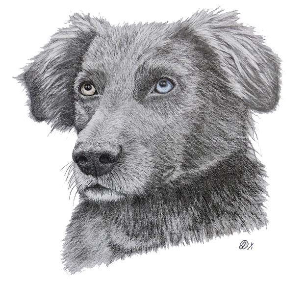 'Laila' Dog Portrait in Graphite by Janine Lees (2015).