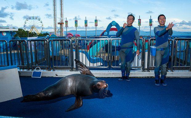 Leão-marinho-da-califórnia (Zalophus californianus) Ocean Park, Hong Kong Artista de nadadeiras cumprimenta o público com seus treinadores durante o show de golfinhos e leões-marinhos Sea Dream, no parque temático e zoológico, que, no ano passado, atraiu mais visitantes do que a Disneylândia de Hong Kong. CLASSIFICAÇÃO IUCN: POUCO PREOCUPANTE