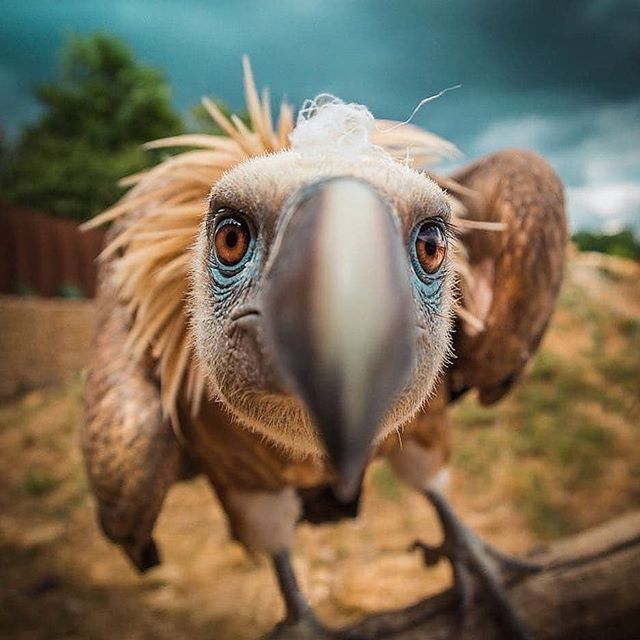 exploringafrica_ Beautiful vulture trying to figure out what this strange  one eyed-creature is 📷 😉 ©Tony V . | Animals beautiful, Bird photography,  Funny animals