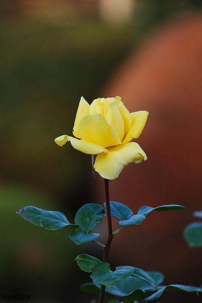 Gina Lollobrigida ジーナ・ロロブリジーダ 'Gina Lollobrigida' | Hybrid Tea Rose. Meilland International (France) | Flickr - © azucargeminis