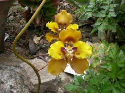 Cyrtochilum macranthum Kraenzl. -- Turismo en Leymebamba, ORQUIDEAS DEPARTAMENTO DE AMAZONAS