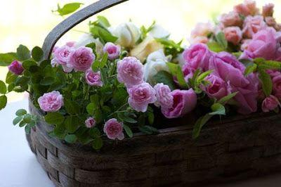 Rose de Meaux - mała prowansalska róża z wielką historią
