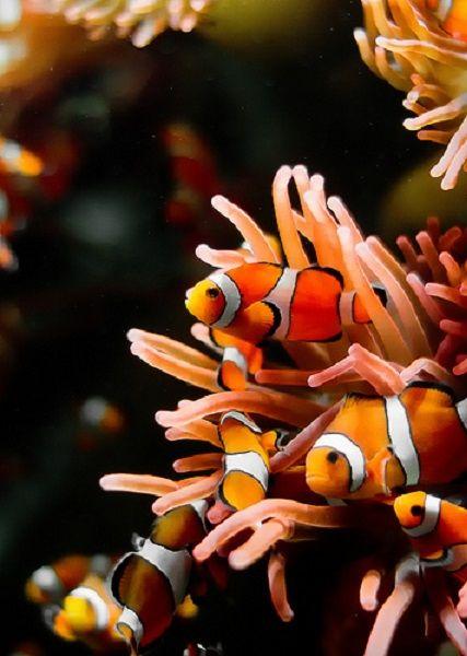 Clownfishes by gfawbert
