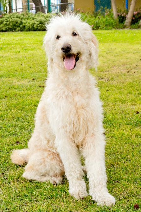 Goldendoodle dog for Adoption in Marina del Rey, CA. ADN-502342 on PuppyFinder.com Gender: Female. Age: Adult