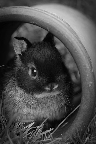Young Netherland Dwarf rabbit, photographed by Jong konijn.