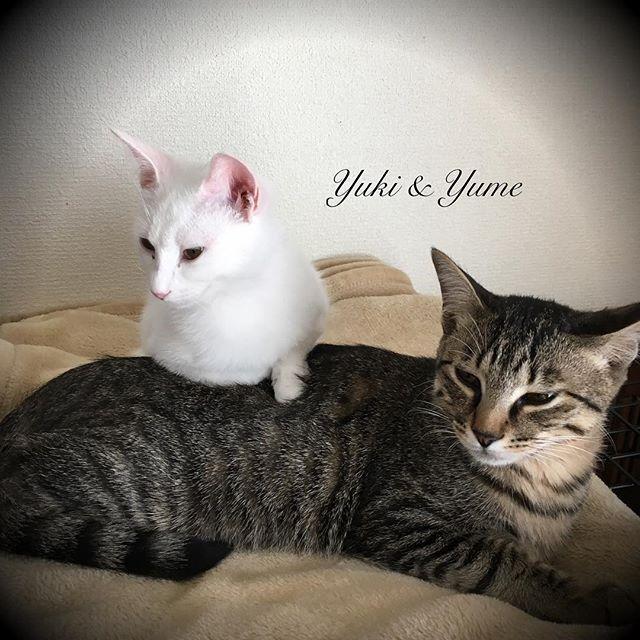 🐱ツムツム💕sizeが😅💦 大好きな毛布が洗濯+乾燥でフワフワに✨気持ちよすぎニャン🐱💕 #cat #猫 #ねこ #愛猫 #譲渡会 #里親 #そめごろう #子猫 #仔猫 #ゆめ #yume #夢 #ゆき #yuki #ねこ部 #こねこ #可愛い #cute #癒し #宝物 #にゃんすたぐらむ #トライアル #picneko #ピクネコ