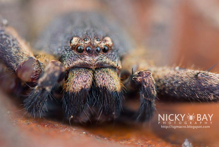 Fotografias revelam mínimos detalhes de 'aranhas de outro mundo' — Cenapop