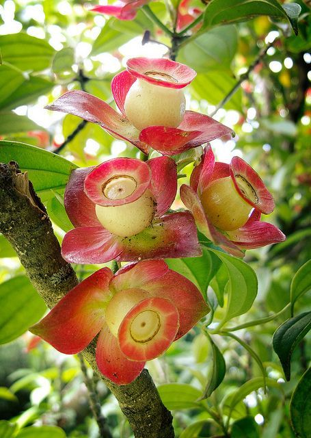 Strange flowers by laratada.... Melastomataceae Blakea gracilis... Unusual and Beautiful! More on: https://www.facebook.com/bellasdress