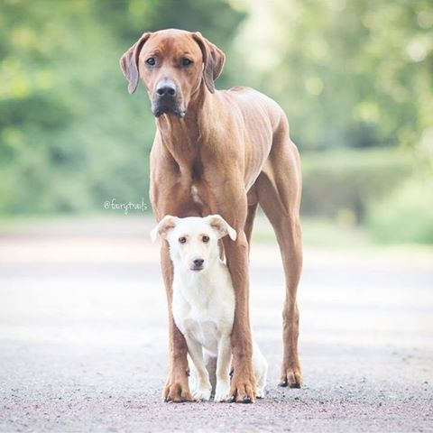 """""""Who teased you, Sammy? """" #bodyguard #bigbrother ➡with @fairytrails   ➡picture made by @fairytrails  ~~~~~~~~~~~~~~~~~~~~~~~~~~~ #rawfed #rhodesianridgeback #muttsofinstagram #dog #dogs #puppy #brothers #friends #animals #nature #family #photooftheday #love #dogsofinstagram #hund #mutt #ridgeback #thestatelyhound"""