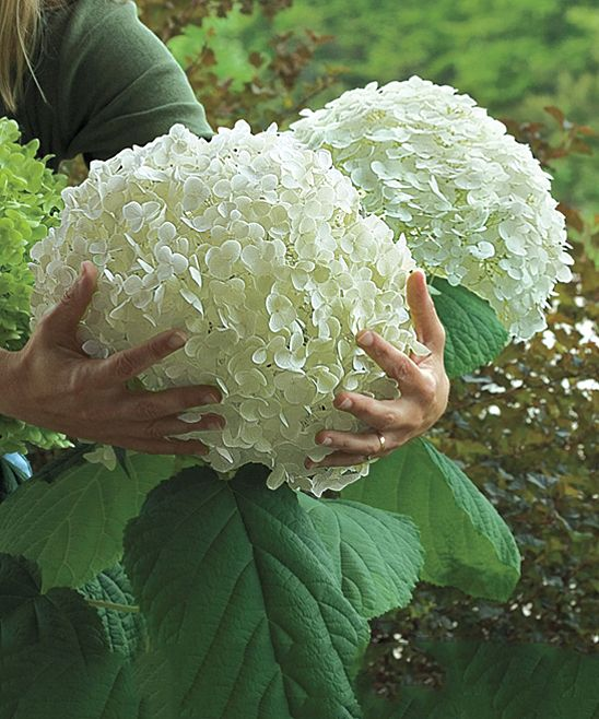 Spring Hill Nursery Live Incredibly Big Hydrangea Plant | zulily