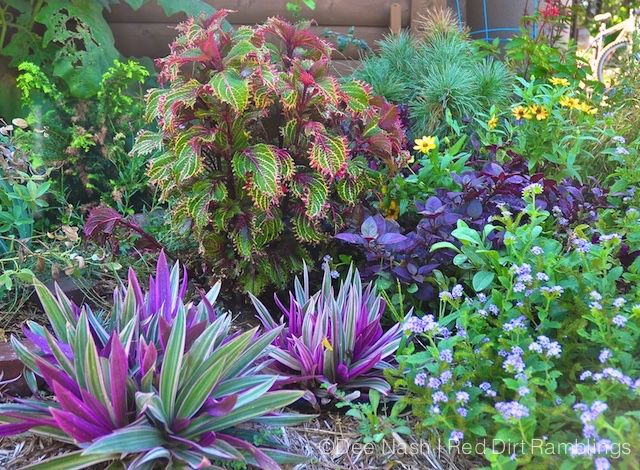 In late summer of 2011, the only border that looked good that dreadful summer was the one by the garage planted with tropical plants. Here, variegated oyster plant, 'Peter's Wonder' coleus, alternanthera and heliotrope make a very pretty picture.