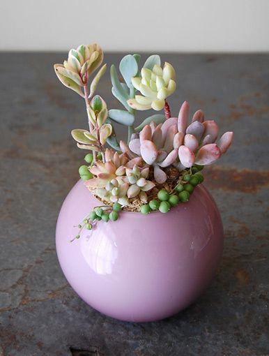 這盆的顏色太夢幻了!Succulents