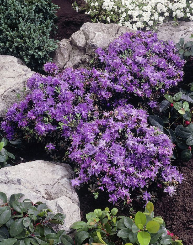 Image Result For Rhododendron Dwarf Garden Lilac Bushes