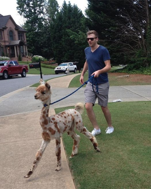 This llama who is walking this human: | 15 Llamas Who Just Do Not Give A Damn THis is the type of quality list I go to buzzfeed in hopes of finding