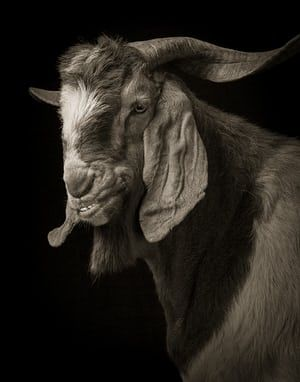 GOERGEOUS GOATS IN PICTURES_Jake No 1