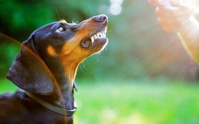 La gravidanza isterica nel cane, come riconoscerla, quali sono le cause, cosa fare La gravidanza isterica del cane è una patologia molto frequente in tutti i soggetti non sterilizzati ed è dovuta a squilibri ormonali a seguito del periodo di estro. In alcuni caso può diventare prob #gravidanzaistericacane