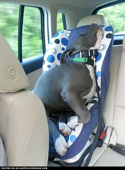 Adorable Pitbull puppy was sooooooo tired on the drive that he took a nap in the kid's car seat!