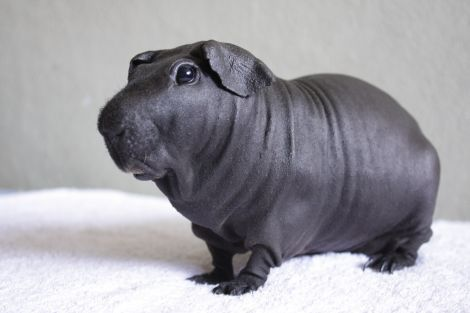 hairless guinea pig..they were originally breed for lab animals (bad)..but have become quite popular as pets..called 'little hippos'..they do have special needs