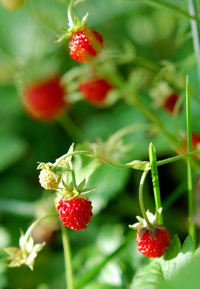 ^Wild strawberries growing in the hedgerows