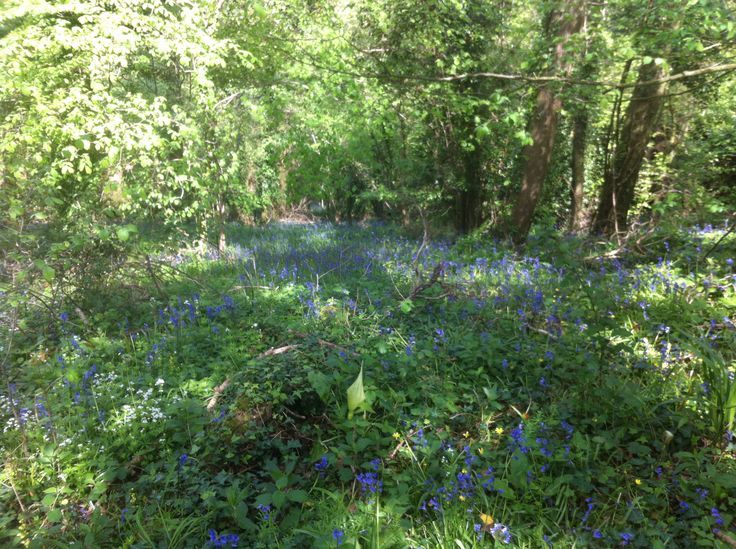 Beautiful bluebells at Swell Woods in Somerset! See http://apronsandshoestrings.com for ideas while getting out and about with the family.