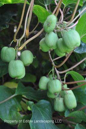 Actinidia arguta 'Ananasnaya' (Anna), kiwi. Honplanta som ger ca 3 cm avlånga kiwifrukter, roströda på solsidan. Mognar i oktober. Härdig (-28 grader)