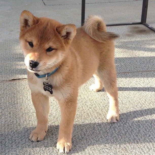 Best 25+ Shiba inu puppies ideas on Pinterest | Shiba ...