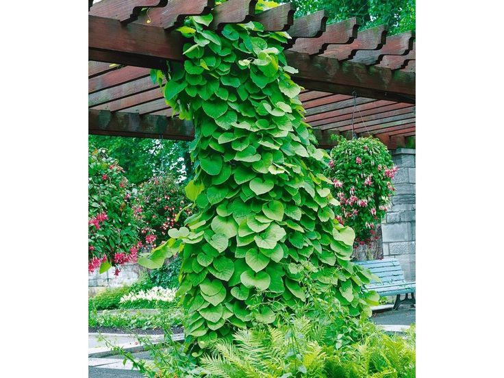 12,49 EUR Pfeifenwinde,1 Pflanze 1