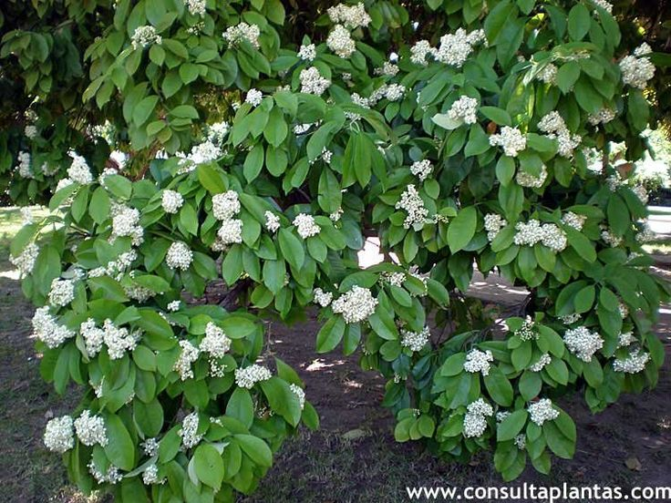 Viburnum opulus, Viburno o Bola de nieve | Cuidados.