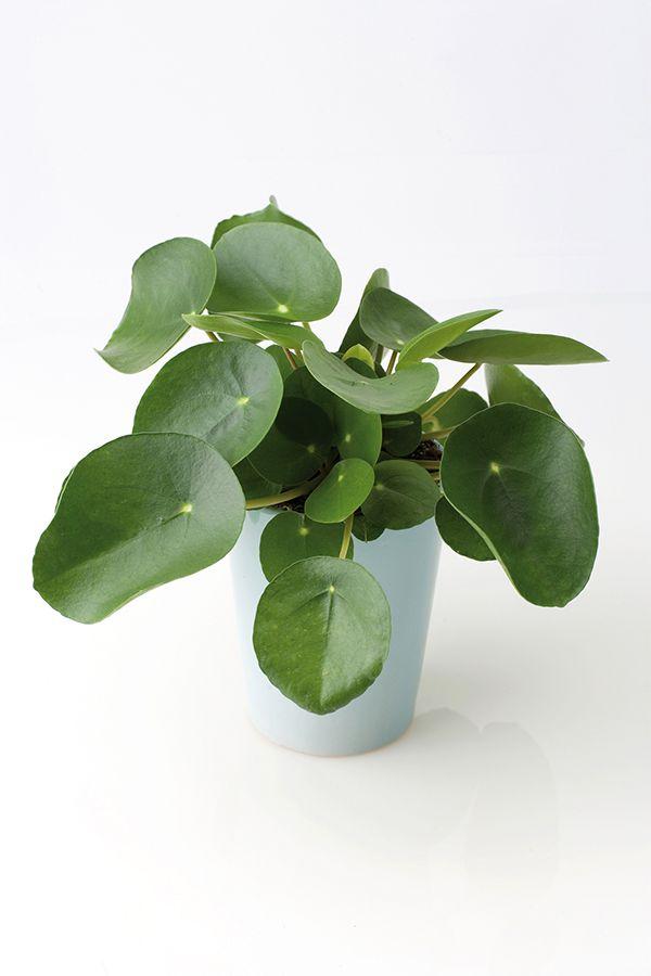 A singular succulent plant pilea peperomioides for Plante pilea