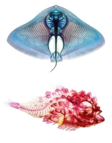 Artistic Anatomy: Dye Reveals Inner Beauty of Marine Life