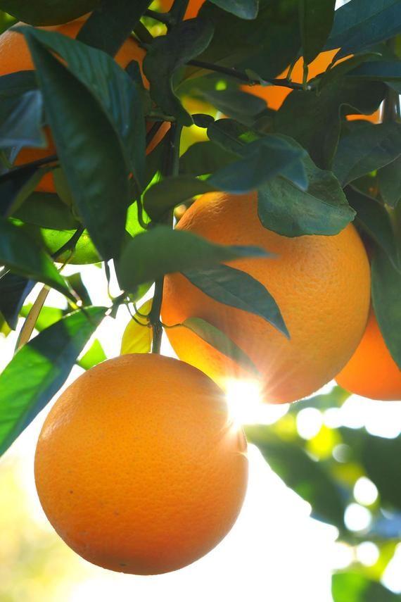 dwarf valencia orange tree  seedless citrus  excludes  ca tx la az  in 2020