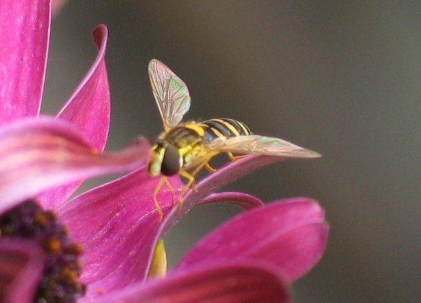 Οι μέλισσες προτιμούν το άρωμα των λουλουδιών από τα κεντρίσματα(έρευνα)